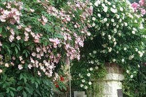 バラ園の近くのお宅も見事な バラが咲いています。