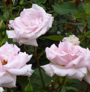 井野元さんが生み出した新品種のバラ「花嫁」