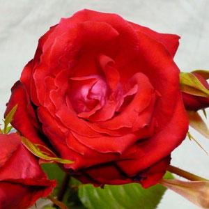 """花びらは、""""ビロード""""のような色と風合い"""