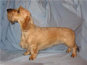 dachshund Цертус Зауберфрейлих такса миниатюрная жесткошерстная