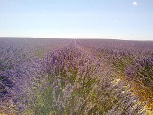 cultivo lavandin en Tiedra Valladolid