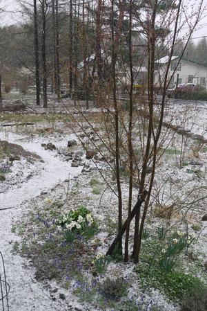 4月21日雪が降りましたが、たちまち溶けました。