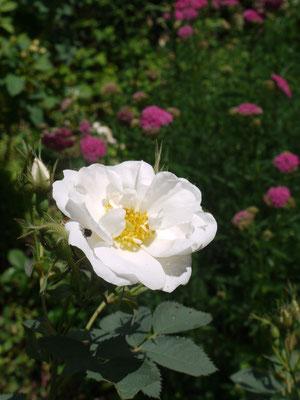 6月16日アルバセミプレナが咲き出して