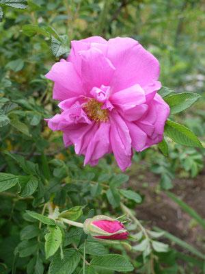 最初のバラはPierette Pavement 6月8日