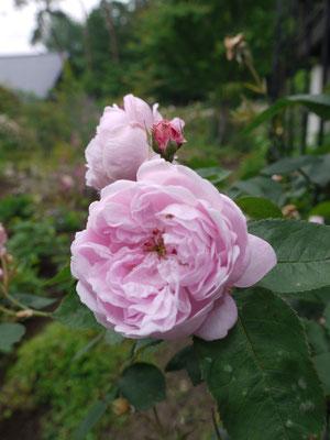 6月30日ファンタンラトゥール香りもよくよく咲いてくれます。