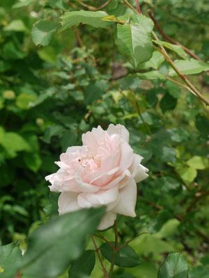 6月16日やさしい色のマダムアルフレッドキャリエールも咲きだして