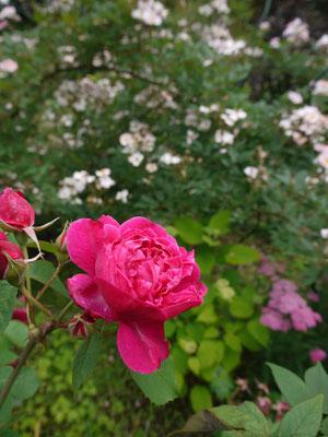 6月30日イージェーヌイーマルリよく咲いてくれます。