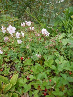 下草に植えたワイルドストロベリーが広がっています。イチゴとバラの香りがミックスされて これってゲラニュウムプラセンテ