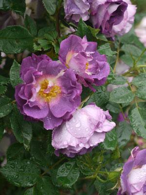 6月15日ブルーフォーユーがさらに咲き出して・・・人気あります。