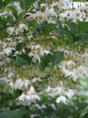 6月17日エゴの花が咲き出して見頃