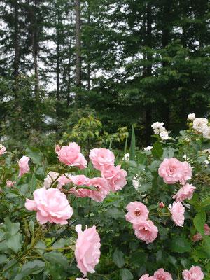 6月30日去年植えたローゼンホープシュパリスホープ強健