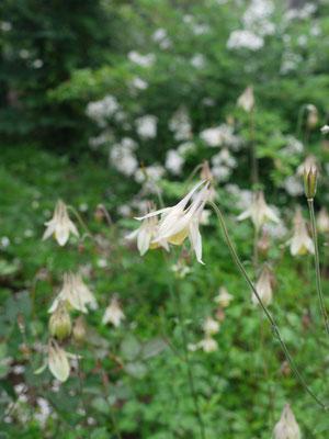6月17日ノバラの近くで自生のオダマキが沢山咲いて
