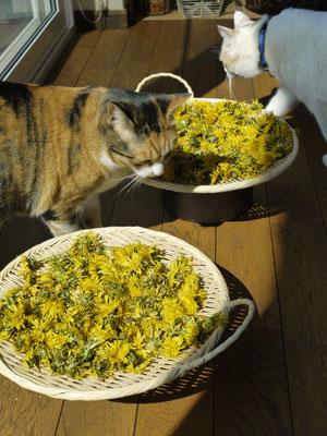タンポポが庭にいっぱいでしたので開花したタンポポを摘んでタンポポ酒を作りました。ネコたちも興味深々。