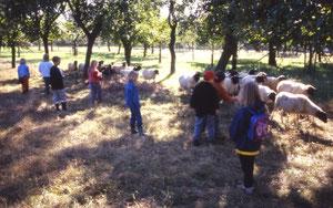 Die Kinder dürfen beim Umtreiben der Schafe helfen....