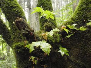 苔生した樹