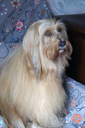 Tibet-Terrier-Hündin Bya-ra 9 Jahre alt