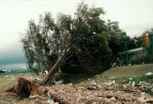 9月21日台風により倒れる