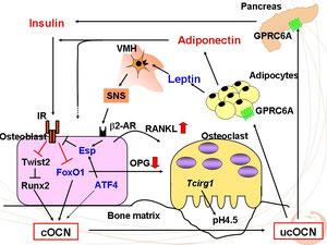 オステオカルシンを介した骨、膵臓、脂肪細胞間の連関