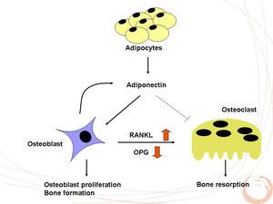 アディポネクチンの骨への影響
