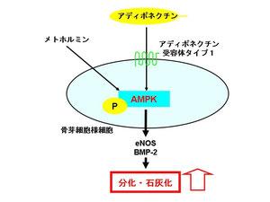 アディポネクチン、メトホルミンはAMPKを活性化させることにより骨芽細胞分化、石灰化を促進する