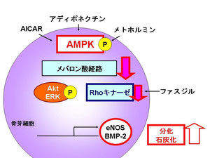 AMPKによる骨芽細胞分化、石灰化促進におけるメカニズム