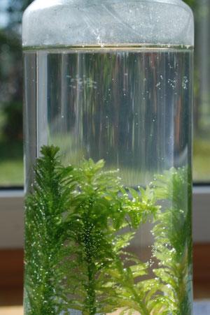 pflanzensauerstoff wird sichtbar nela forscht naturwissenschaft f r kinder. Black Bedroom Furniture Sets. Home Design Ideas