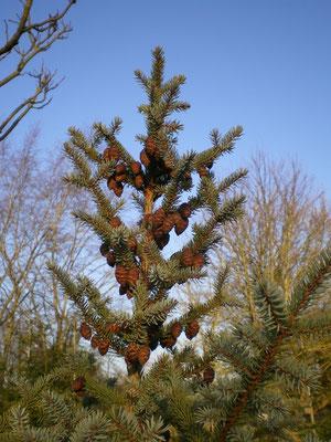 Picea mariana (détail)