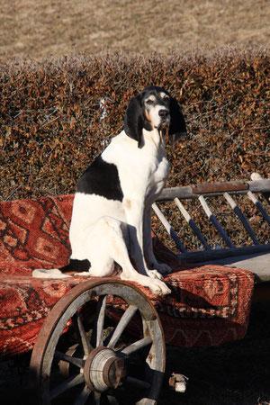 Balou Berner Laufhund