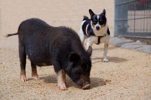 Miss Piggy in Eigeltingen