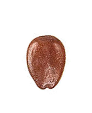 The Locust Bean  (Carob seed detail (c) Roger Culos Wikimedia