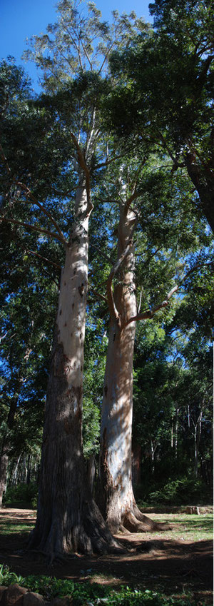 Huge Eucalyptus at the Tokai Aboretum