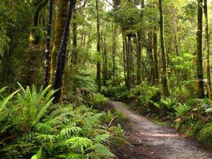 Hump Ridge Track - native bush