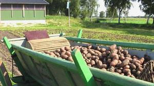 Die mit der Hand geernteten Kartoffeln wurden mit dem Ackerwagen nach Hause gebracht