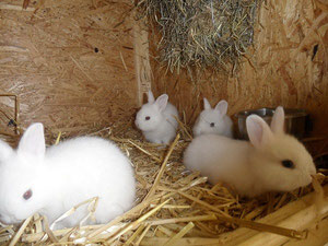 Wurf Weiße Wiener 3 Wochen alt von Mai 2011