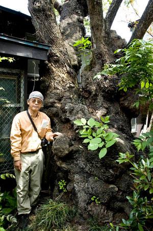 梅の巨木(黒石市・個人住宅の裏庭)