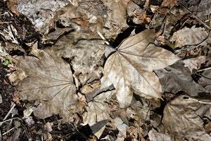 ハリギリの葉