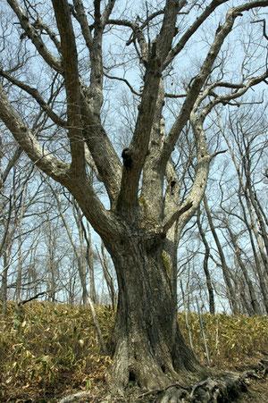 クリの巨木があちこちに