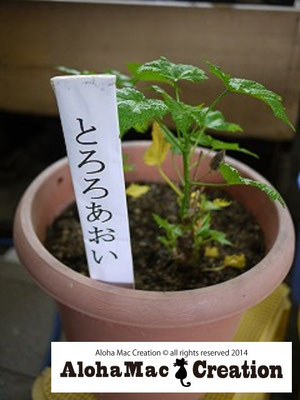トロロアオイの苗