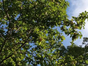あちこちで見られるりんごの木、実りの秋です