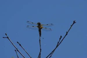 Vierflecklibelle am Moorsee, Foto S. Lorenz