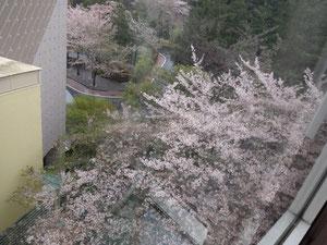オリセンは桜が満開でした