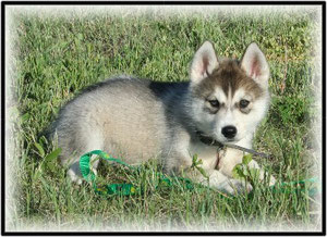 Caribou Siberians Puppies Of The Month From Another Breeder