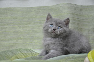 Feisty,british shorthair bleu smoke
