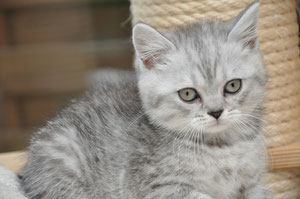 Frimousse, british shorthair black silver tabby