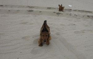 Der kleine Flitzer lernt das fliegen im Sand :D im Alter von 4 Monaten