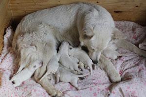 naissance chiot berger blanc suisse a vendre qualité poil long