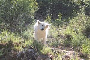 berger blanc suisse washita ahow bois des ternes combe noire tres bon berger blanc