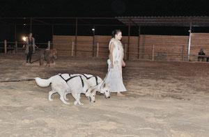 berger blanc davy lacroix des crins et des ailes spectacle equestre elfica washita ahow loup