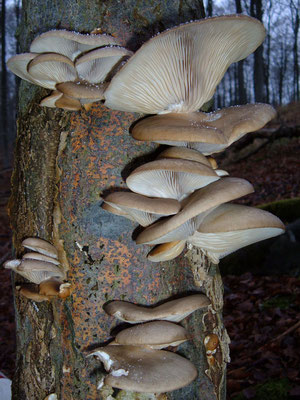 Austernseitling ,Pleuratus ostreatus -eßbar*-  Ellenser Wald Januar 08