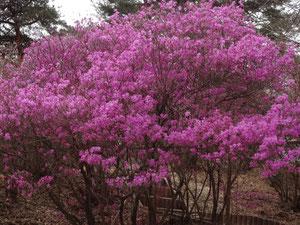 南木曾天白公園のミツバツツジ(4月9日撮影)